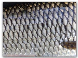 Порча Рыбья чешуя